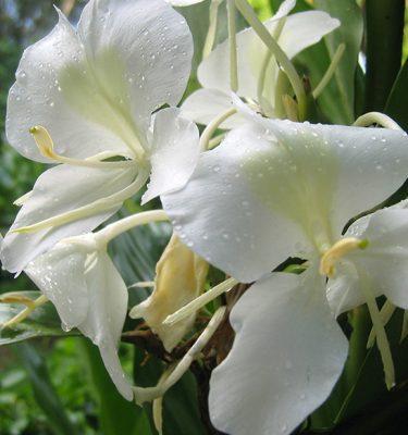 Hedychium coronarium white butterfly