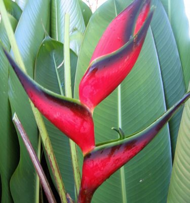 Heliconia-orthotricha-total-eclipse