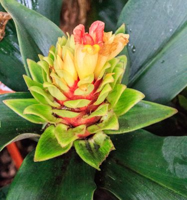 Cold hardy Costus