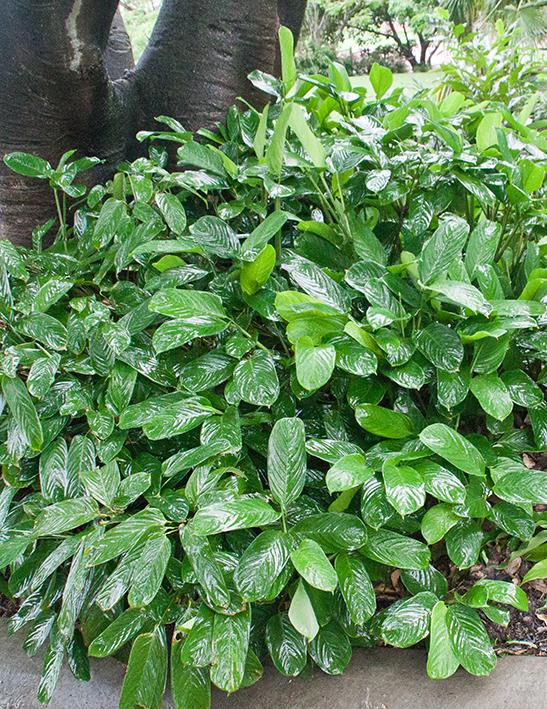 Ctenanthe lubbersiana - Towen Mount Tropicals