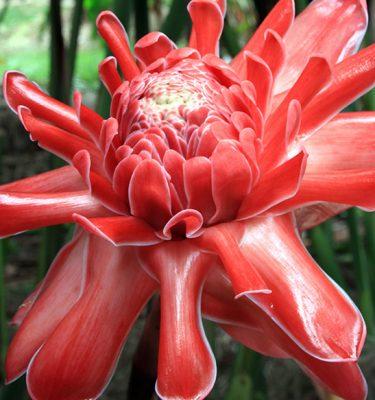 etlingera elatior coral dream