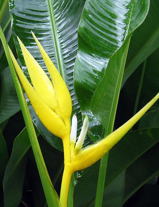 heliconia-angusta-yellow-xmas