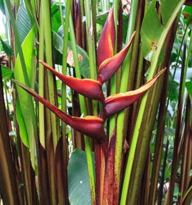 Heliconia bihai 'Chocolate Dancer'