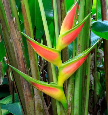 heliconia-bihai-giant-lobster-claw