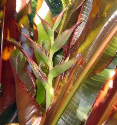 heliconia indica Rubra