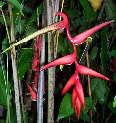 heliconia obscuroides