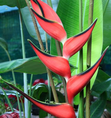 heliconia orthotricha imperial pink