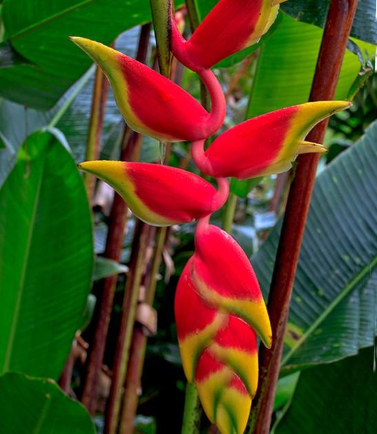 heliconia-rostrata-misahualli