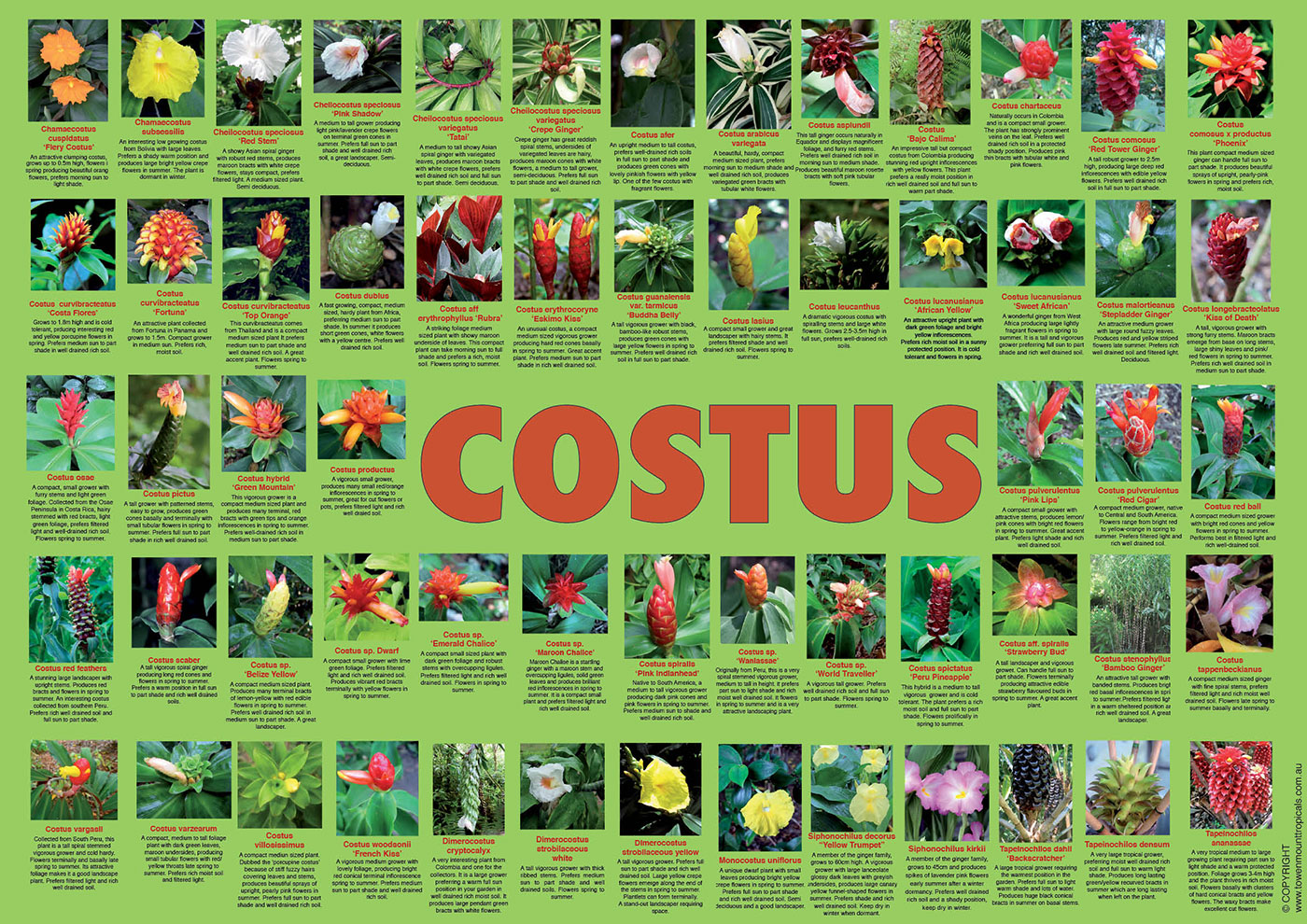 costus-poster-web-1400px