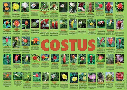 costus-poster-web-504px