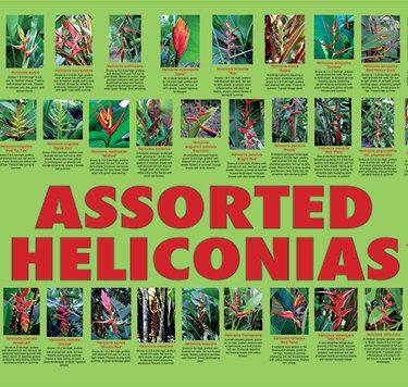 mischeliconia2-504px