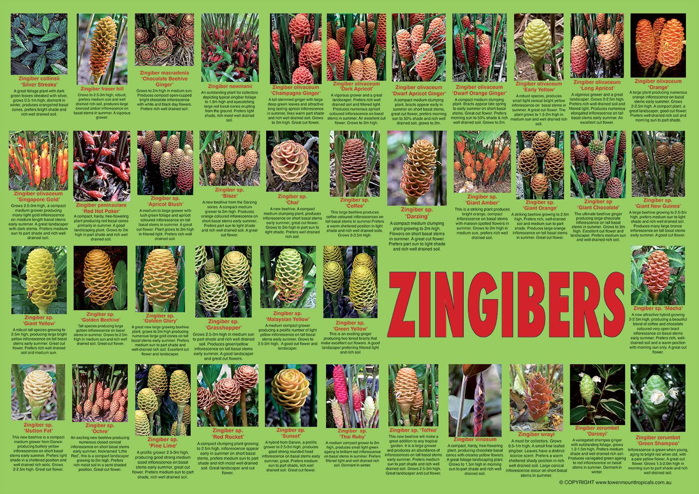zingiber-poster-1400px