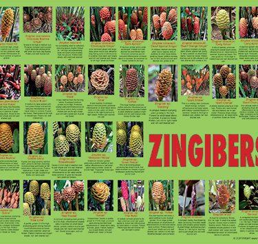 zingiber-poster-web-504px