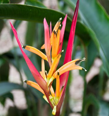 heliconia-caribbean-flame