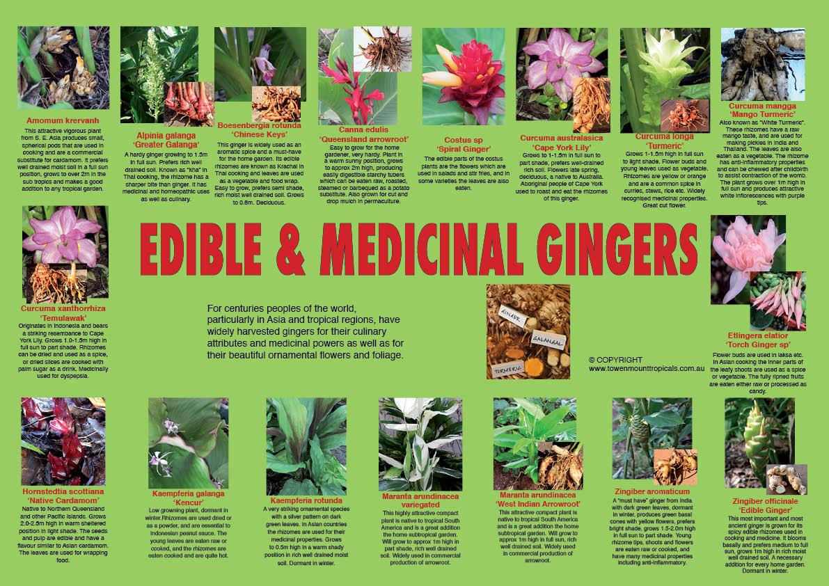 edible-gingers-web